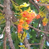 orange (Grenzeloos1) Tags: orange spring brisbane queensland toowong floweringtrees castanospermumaustrale moretonbaychestnut mtcootthabotanicalgardens blackbeantree