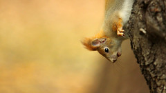 Squirrel (red R) Tags: squirrel redsquirrel sciurusvulgaris mkus eurasianredsquirrel vrsmkus