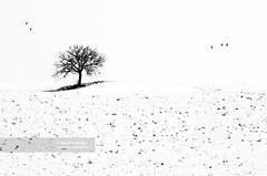 Loneliness (Feb 2005) (Michele Berti) Tags: italy white snow cold tree film field analog landscape photography landscapes countryside italia loneliness pigeon calm campagna velvia tuscany neve campo pace highkey fotografia toscana valdorcia albero paesaggi bianco fresco freddo repose piccione paesaggio analogica cretesenesi tranquillity volatile fujivelvia50 solitudine canoneos3 velvia50 fujivelvia agricoltura pellicola tranquillità agricolture chilliness analougue freschezza tuscancountryside campagnatoscana paesaggiotoscana tuscanylandscape paesaggioagricolo analogicait agricolturelandscape coloridellavaldorcia fotografiedellavaldorcia fotografiedellecretesenesi