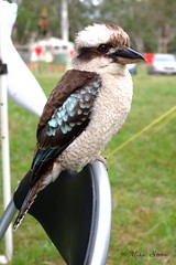 PROUD KOOKABURRA (Seaside-Mike) Tags: camping camp holiday bird beautiful animals pentax wildlife beak feathers australia scout scouts kingfisher adelaide hunter bluebird southaustralia woodhouse tame claws scouting feathered talons bushcraft sea2side kkokaburra