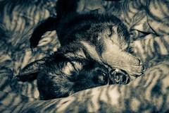 sleepy dog (Ligia Augusto) Tags: dog animals cachorro animais dogsleeping cachorrodormindo