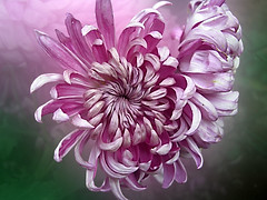 CIMG1564 pink chrysanthemum (pinktigger) Tags: pink flower nature chrysanthemum hennysgardens flowerthequietbeauty besteverdigitalphotography