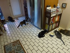 Seven-Cat Breakfast (Philosopher Queen) Tags: morning food cats home kitchen breakfast chats eating gatos multiplecats