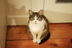 Toum (Siouz) Tags: shadow cute cat feline chat tabby kitty aww meow paws cateyes catshadow kittyeyes unamourdechat