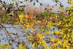 GS8_8822 (Chironius) Tags: herbst lingen dieksee gauerbachsee see gauerbach laxten emsland germany deutschland niedersachsen allemagne alemania germania германия rosa herfst autumn autunno efteråret otoño höst jesień осень rose roze gül роуз rosen roses rosids fabids rosales rosenartige rosaceae rosengewächse rosoideae