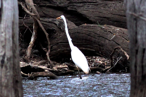 Ardea modesta (Eastern Great Egret)