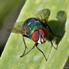 Thru The Eyes Of Ruby (the fly) (bob in swamp) Tags: blue red green fly eyes metallic ruby palmbeachcounty blowfly diptera calliphoridae unemouche carrionfly junodunesnaturalarea