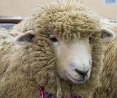 Sheep (Getting Better Shots) Tags: animals sheep farm