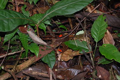 Strawberry poison arrow frogs (Oophaga pumilio). (Sky and Yak) Tags: azul strawberry costarica wildlife frogs mating arrow poison amphibians calling dendrobates centralamerica herpetology pozo poisondart herptile pumilio oophaga