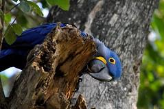 Pantanal 1456 (- Adam Reeder -) Tags: 2011 adamreeder americas aquidauana best brazil hyacinth macaw pantanal southamerica summer travel wwwadammreedercom photography world adam reeder animal other animals photos flickr awesome photo cool spectacular