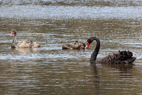 Cygnus atratus (Black Swan) - adult and juveniles