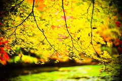 Grand Finale (moaan) Tags: life leica november color digital 50mm dof bokeh f10 momiji japanesemaple kobe utata noctilux dairy tinted 2012 m9 tinged colorsofautumn inlife leicanoctilux50mmf10   leicam9 futatabipark autumndairy