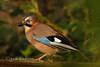 Jay (Nigel Dell) Tags: autumn birds jay seasons wildlife places hampshire fsg ngdphotos