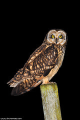 Coruja-do-nabal | Short-eared owl (Asio flammeus) (Bruno Maia | www.brunomaia.com) Tags: bird birds avesemportugal aves owl coruja avesdeportugal shortearedowl asioflammeus corujadonabal