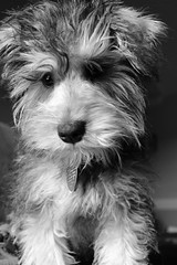 4 (Jamie-Owens) Tags: dog cute puppy miniature schnauzer miniatureschnuazer