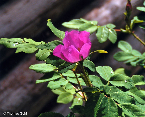 Photo - Wild Rose