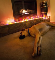 dreaming of suger plums (Lorraine Herson-Jones) Tags: christmas dogs content greatdane dreaming elementsorganizer