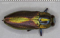Specular (mgjefferies) Tags: australia queensland coleoptera insecta buprestidae granitebelt mgjefferies geo:country=australia broadwatersf taxonomy:genus=selagis taxonomy:binomial=selagiscaloptera selagiscaloptera selagis