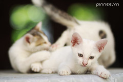 Kittens play on the table [Explored - 14/12/2012] (pinnee.) Tags: pet pets animals cat kittens meow meowmeow turkish meo mo cuteanimal turkishcat 8faves