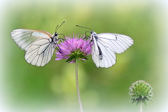 Dreaming butterflies (STE) Tags: macro photography photo foto photographer photos butterflies fotografia stefano fotografo trucco farfalle tamron90 aporia crataegi zush stefanotrucco