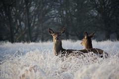 Indifferenti (AleGaget) Tags: park winter sunset sky london sunrise frozen alba richmond deers ghiaccio cervi bambie