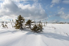 The peat bog (Orion 2) Tags: winter white snow canada cold nature beauty landscape shadows cloudy north windy bleak snowshoeing wilderness stark bog boreal sprucetrees newfoundlandandlabrador