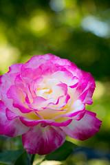 Coasting through summer (hjl) Tags: bokeh flower petals pink rose stilllife summer