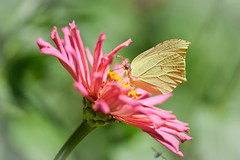(simo m.) Tags: uncropped flower pink zinnia butterfly insect nature