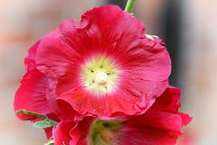 160725-1 (sz227) Tags: stockrose stockmalve blte blume flowers sz227 zackl sony sonyslt58