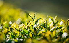 Everything to discover (Kiss Midori) Tags: tea sun beautiful nature green