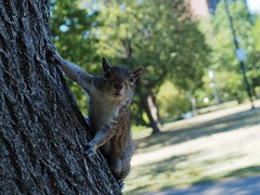 cureuil (Hugo Malki) Tags: beauty boston usa america squirrel animal animaux cureuil arbre tree parc park friend colors mkii mk2 olympus exploration discover life little thing hi summer eye