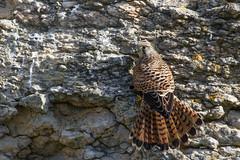 Faucon crécerelle (gilbert.calatayud) Tags: fauconcrécerelle falcotinnunculus commonkestrel falconiformes falconidés baie de l aiguillon vendée rapaces