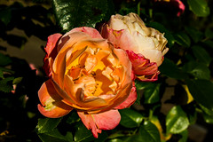 Rose (betadecay2000) Tags: rosen rosengarten beet beete pflanze flower plant plants green grn rosenbusch rosebush dornen dorn blhen rosenstrauch zierpflanze blume bltenblatt outdoor schrfentiefe