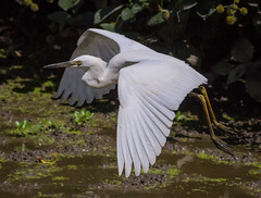 Juvenile Snowy Egret (tresed47) Tags: 2016 201608aug 20160804johnheinzbirds birds canon7d content egret folder johnheinznwr pennsylvania peterscamera petersphotos philadelphia places snowyegret takenby us ngc npc