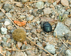 Dung Beetle with Dung Ball (suerob) Tags: dungbeetle insect male scarab wild wildlife nature lesvos greece ball dung rolling bury