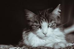Honesty will prevail in the end ? No no no no no . (miyukiz4 su ood) Tags: cats cat kitten  gttino chaton gatito ktzchen gatinho