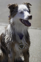 IMG_9577 (kris10pix) Tags: dogpaddle2016 dogs puppies puppy splash pool fetch dog wisconsin capitolk9s mutts purebreed leap madisonwi goodmanspool wetdog summer