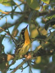 Yellow-throated Warbler 7-20160820 (Kenneth Cole Schneider) Tags: florida miramar westbrowardwca