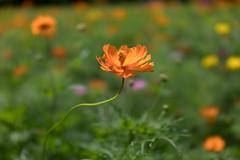 DSC02179 (Zengame) Tags: hamarikyu hamarikyugardens rx rx1 rx1r rx1rm2 rx1rmark2 sony zeiss cc cosmos creativecommons flower japan tokyo           jp
