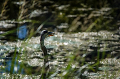 Patient Fisher (Kat Hatt) Tags: greatblueheron napanee river kathatt bokeh fishing canada hiding