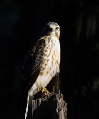 Sunrise Hawk (snooker2009) Tags: hawk raptor bird nature wildlife pennsylvania sunrise migration fall spring