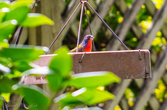 Late September Surprise - Painted Bunting (Gabriel FW Koch (fb.me/FWKochPhotography on FB)) Tags: bird animal outdoor outside canon eos dof bokeh 100mm lseries sun sunlight shade birdfeeder backyard bunting paintedbunting wild songbird wildlife nature beauty beaufitul pretty fence trees garden
