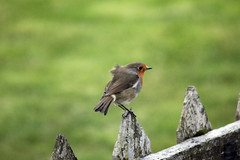 25th September 2016 (lucyphotography) Tags: winter is coming robin bird cute fence perthshire perth scotland