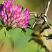 Scarce swallowtail collecting nectar