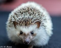 Portrait of a Hedgehog (Ronda Hamm) Tags: hedgehog spikes pinto erinaceinae mammal animal pet nose face ears beadyeyes prickly smallanimal
