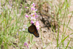 Bright Colors (intagliodragon) Tags: animal arthropod butterfly eukaryote flower insect nature plants kittpeak arizona unitedstates usa lepidoptera
