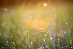 Morning Dew (Austin Lyles) Tags: trioplan 100mm 28 color dew water droplets grass morning light texas d3100 warm calming bubble soapbubble grlitz meyeroptik