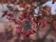 1 Maple Curl (Mertonian) Tags: robertcowlishaw mertonian red leaf curl curvy earlyfall beauty awe canon powershot g7x mark ii canonpowershotg7xmarkii wonder fall macro lookingup lunchwalk ineffable colors