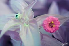 IMG_8333 (gregeryhitchcock) Tags: rose 40d conversion full spectrum ir near infrared uv ultraviolet nir nuv flower flowers insect 50mm tilt shift ts f18 18 macro