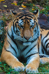 Bengal Tiger (Mellon 99) Tags: animals predators predator mellon99photography cat cats bigcats nature davemellon zoo philadelphiazoo